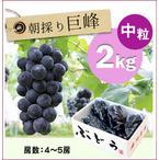 【予約】朝採りぶどう!種無し巨峰[2kg(4~5房)商品番号:B212]